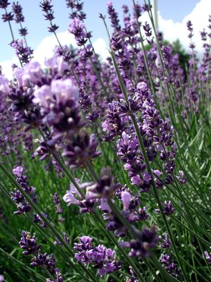 Deutsch: Lavendel (Lavandula sp.)