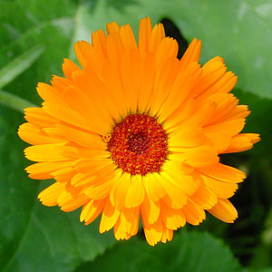 Flower of calendula