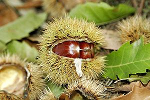 A Sweet Chestnut Castanea sativa cupule, split...
