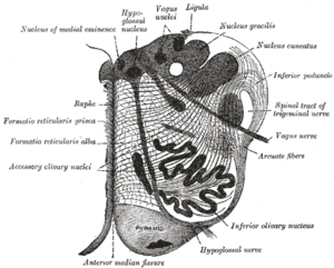 reticular formation diagram 1997 f150 4x4 wiring wikipedia gray694 png