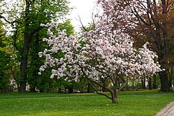 Magnolia  soulangeana  Wikispecies