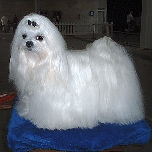 "A ""Vairette"" Maltese at the Champion..."