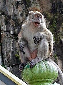 Monyet ekor panjang (Macaca fascicularis)