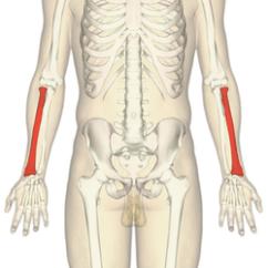 Wrist And Hand Unlabeled Diagram 1972 Nova Wiring Harness Radius (bone) - Wikipedia