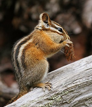 Tamias minimus (Least Chipmunk), Glacier Natio...
