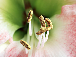 This image shows the stamens of a Hippeastrum ...