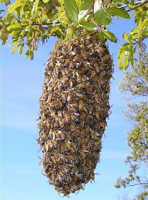 English: This is an image of a bee swarm. I ma...