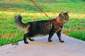 Cat in harness with leash