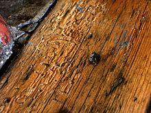 Woodworm In Oak