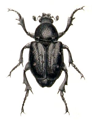 Gnorimus variabilis, from Calwer's Käferb...