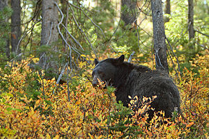 This female black bear had a small cub with he...