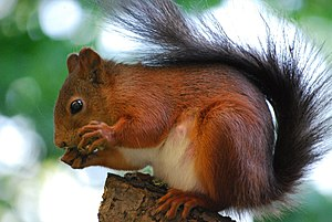 Red squirrel (Sciurus vulgaris) on a tree. Bro...