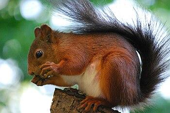 English: Red squirrel (Sciurus vulgaris) on a ...