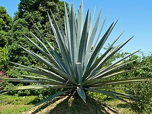 Blue Agave (Agave tequilana)