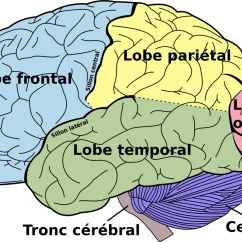 Frontal Brain Diagram No Labels Esp Ltd Ec 256 Wiring Divisions Du Cerveau  Wikiversité