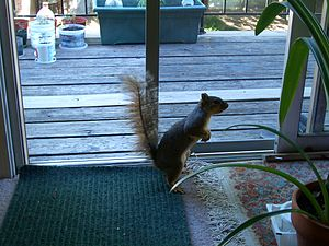 English: An inquisitive squirrel visits a city...