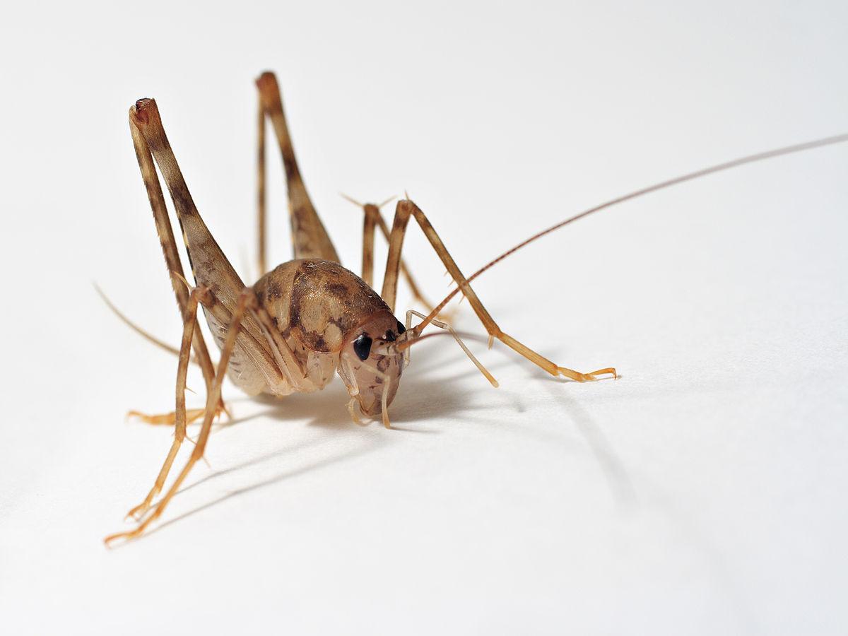 Rhaphidophoridae  Wikipedia