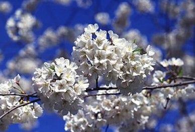 Cherry blossoms (sakura), often simply called ...