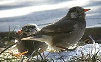 灰椋鳥 - 維基百科,自由的百科全書