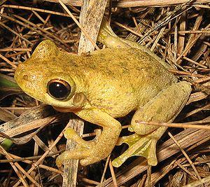 English: Tyler's Tree Frog (Litoria tyleri)
