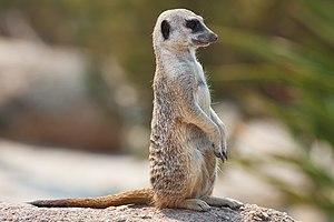 Meerkat. Taken in Victoria, Australia in Febru...