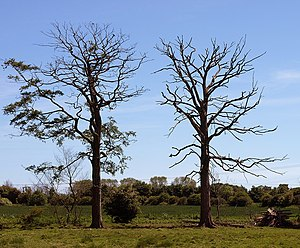 English: Struck in Series Whether these trees ...
