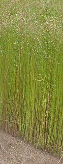 Vlas plant