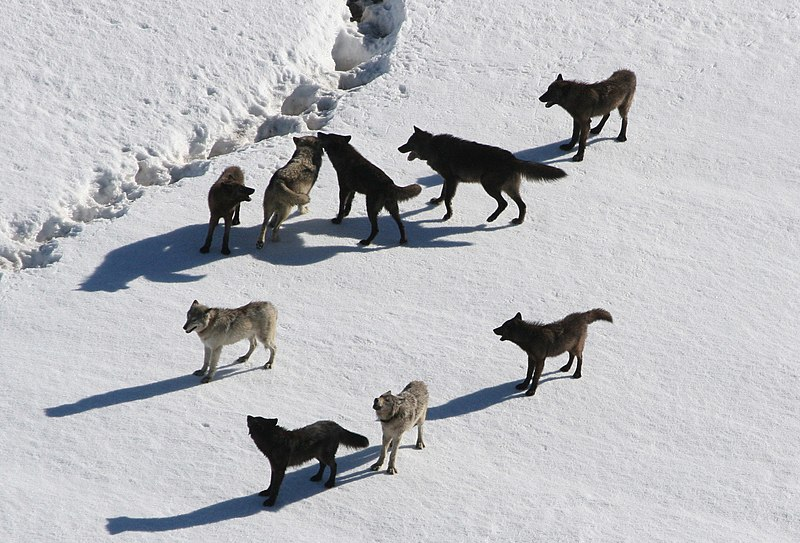 File:Yellowstone Wolves.jpg