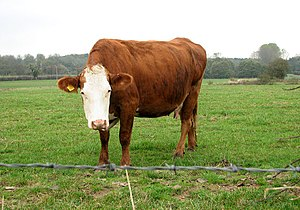 English: An inquisitive cow in pasture beside ...