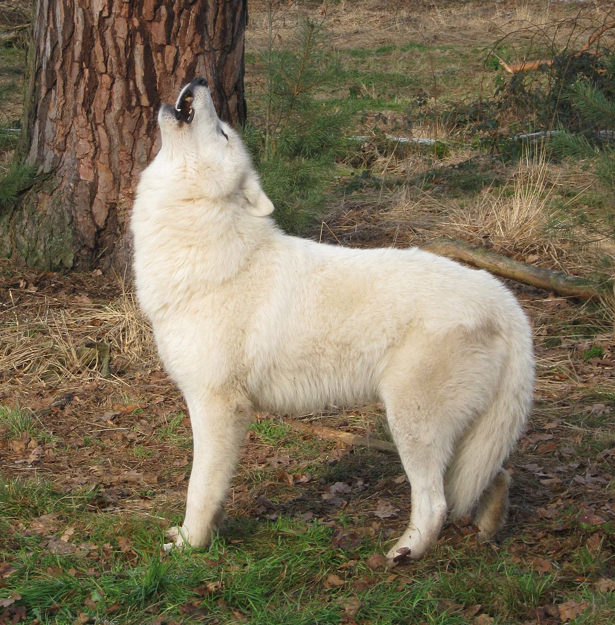Canis Lupus Albus Wikispecies