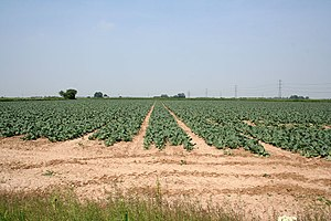 English: Farmland near Spalding. Brassicas gro...