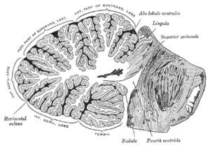 Vertical cross-section of the human cerebellum...