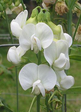 Vlinderbloemenfamilie  Wikipedia