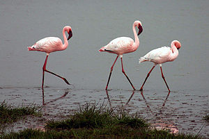 English: Lesser Flamingos in the Ngorongoro Cr...