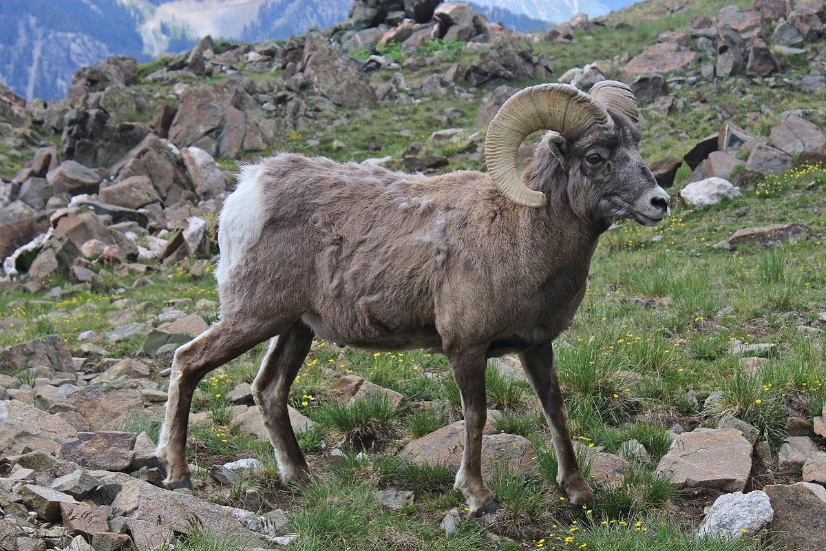 bighorn sheep - Wiktionary