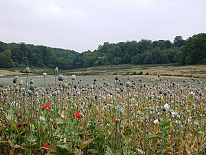 English: Poppies waiting for harvest The poppi...