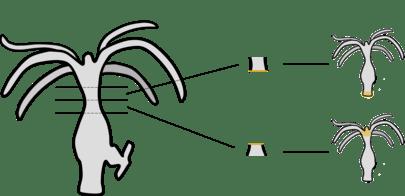Hydra (género)
