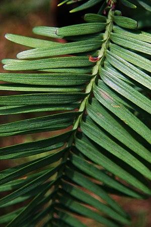 Feuilles de pin de Wollemi (Wollemia nobilis)