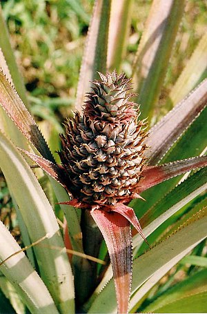 Young Pineapple, Koh Chang, Thailand