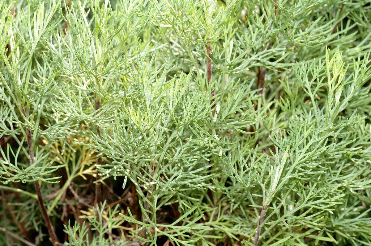 Artemisia abrotanum  Wikipedia