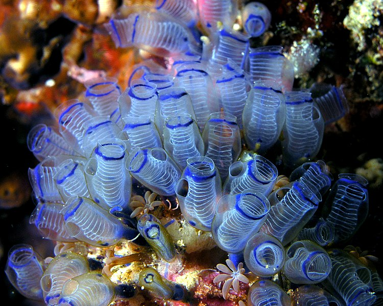 https://i0.wp.com/upload.wikimedia.org/wikipedia/commons/thumb/9/98/Bluebell_tunicates_Nick_Hobgood.jpg/750px-Bluebell_tunicates_Nick_Hobgood.jpg