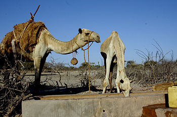 Camels water in Marsabit town that was hit wit...