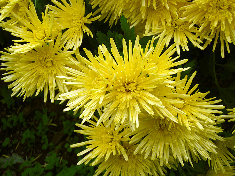 Tập tin:Chrysanthemum morifolium j04.jpg