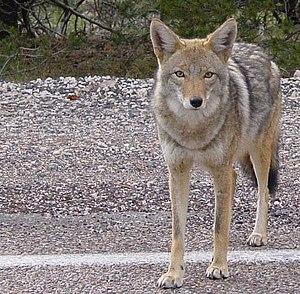 Canis latrans Français : Un coyote en Arizona
