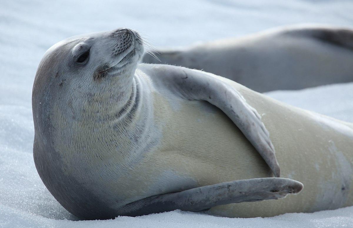 Crabeater Seal Wikipedia
