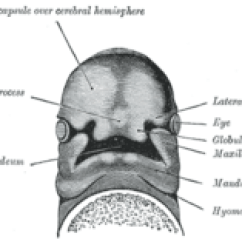 Lip Anatomy Diagram 2002 Yamaha Virago 250 Wiring Frontonasal Prominence - Wikipedia