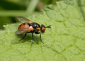 Tachinidae  Wikipdia