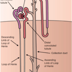 Nephron Diagram From A Textbook Wiring For Inverter Kidney Wikipedia Of Long Juxtamedullary Left And Short Cortical Right All Parts The Are Labelled Except Gray Connecting