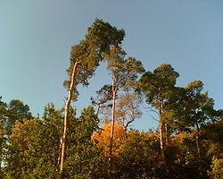 Pin Arbore Wikipedia