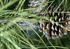 Pitch Pine. Pine cone.